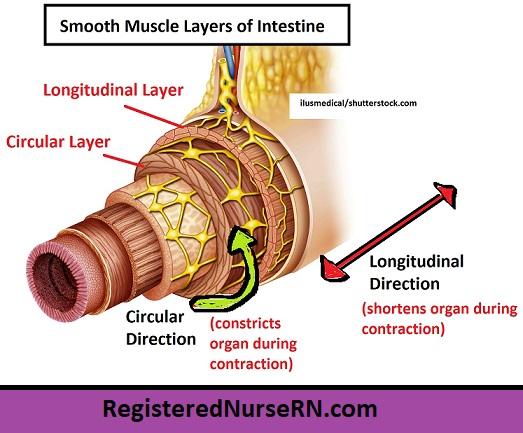 smooth muscle layers,longitudinal layer,circular layer,smooth muscle