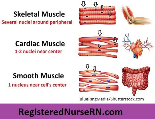 smooth muscle, skeletal muscle, cardiac muscle, nuclei