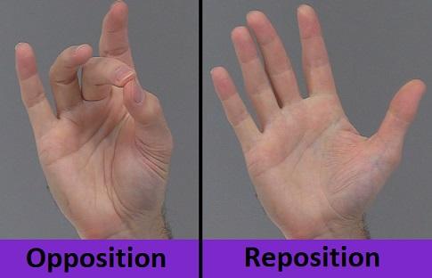 opposition, reposition, opposition thumb, reposition thumb, anatomy