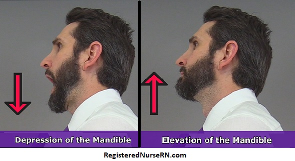 elevation, depression, anatomy, elevation mandible, depression mandible