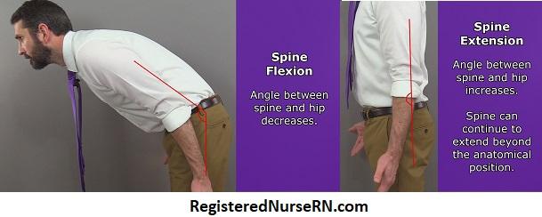 spine flexion, spine extension, vertebral column extension, vertebral column flexion