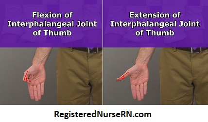 thumb interphalangeal joint, thumb flexion, pollex flexion, extension, anatomy