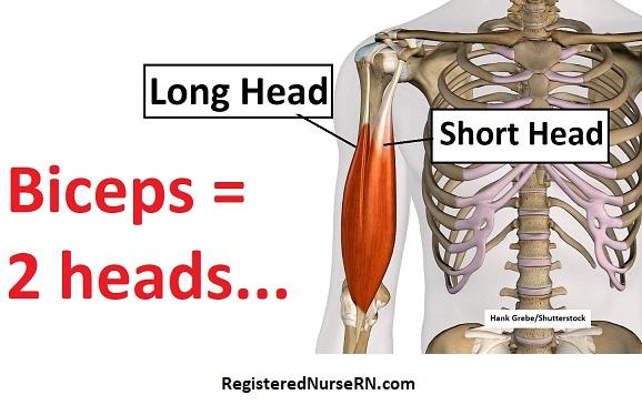 biceps brachii anatomy, biceps muscle, biceps brachii heads