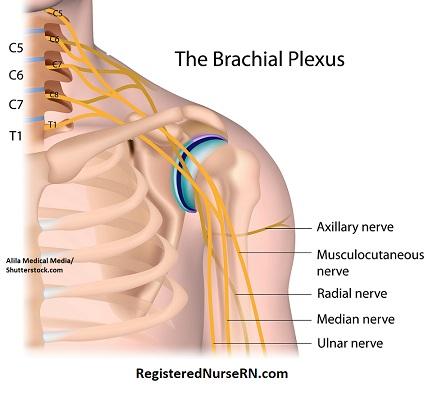 musculocutaneous nerve, biceps brachii, biceps muscle innervation, biceps brachii nerve, c5, c6